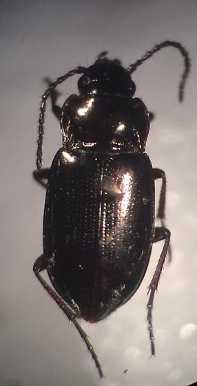 Trachypachus inermis