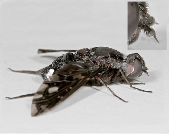 BG628 Fly - Xenox tigrinus