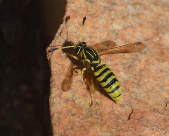 Masarinae wasp - Pseudomasaris coquilletti - male