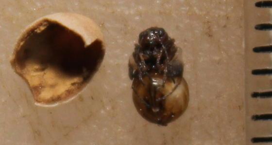 Wasp inside a Quercus virginiana gall - female