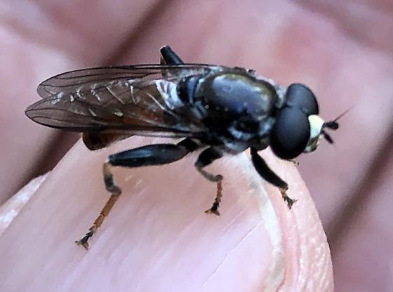 Soldier fly? - Xylota flavitibia