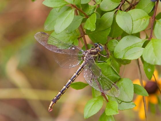 Dragonfly on Barton Creek Greenbelt - Phanogomphus militaris - female