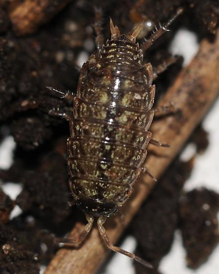 Not a springtail - Philoscia muscorum