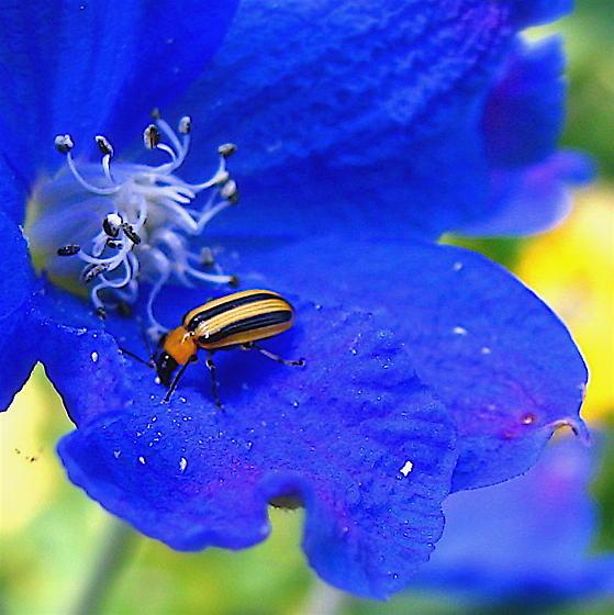 Striped Cucumber Beetle - Acalymma vittatum