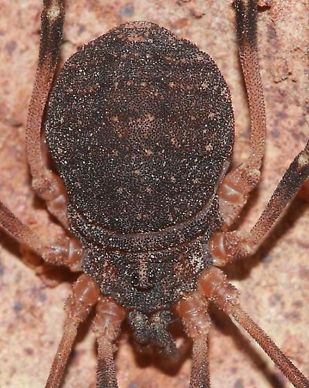 Harvestman - Eumesosoma roeweri