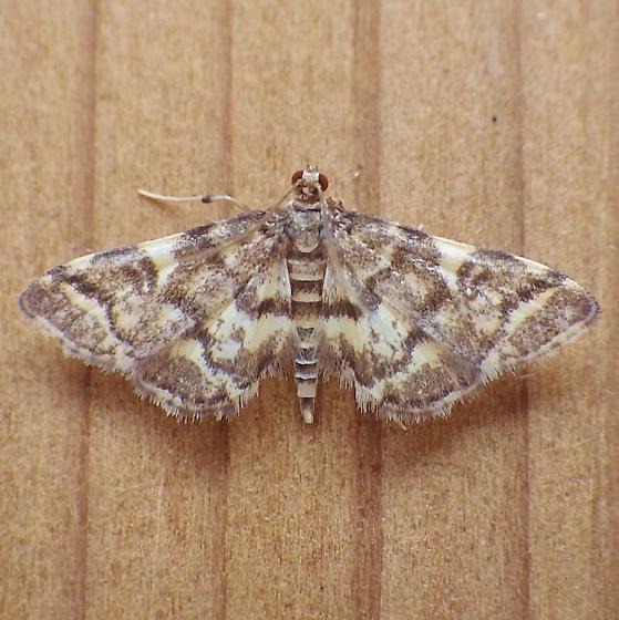 Crambidae: Anageshna primordialis - Anageshna primordialis