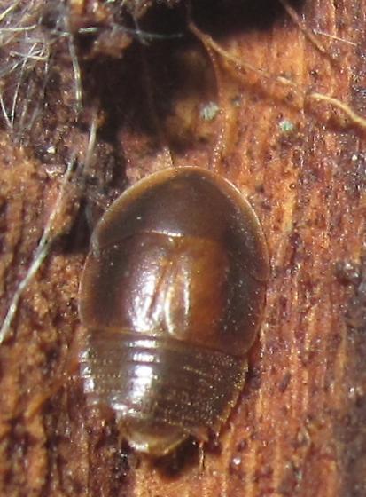 Myrmecoblatta wheeleri - male