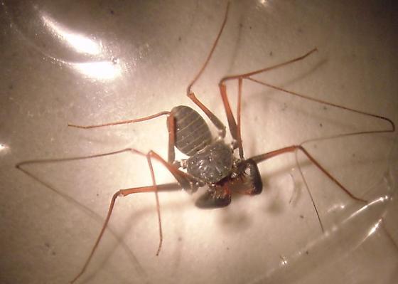 Alien bug found in AZ, please help identify. - Paraphrynus mexicanus