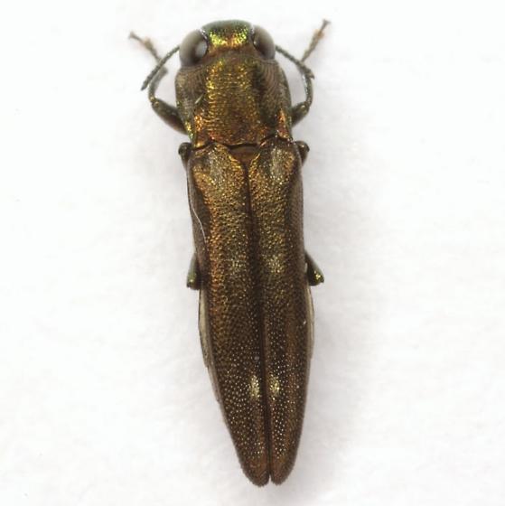 Agrilus egeniformis Champlain & Knull - Agrilus egeniformis