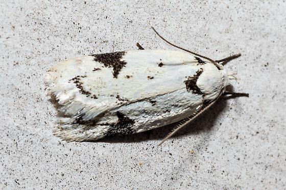 Tortricid Moth? - Inga sparsiciliella