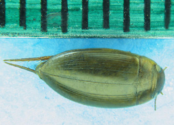 Rio Grande water beetle - Copelatus chevrolati