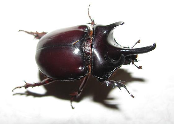 Rhino Beetle - Strategus antaeus