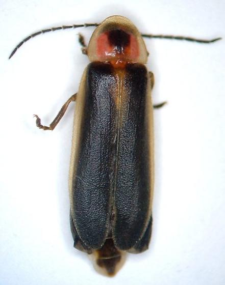 Photinus pyralis - male