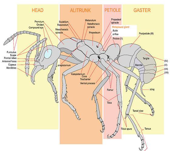 Ant Worker Morphology