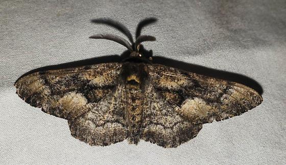Possible - Phaeoura mexicanaria - male