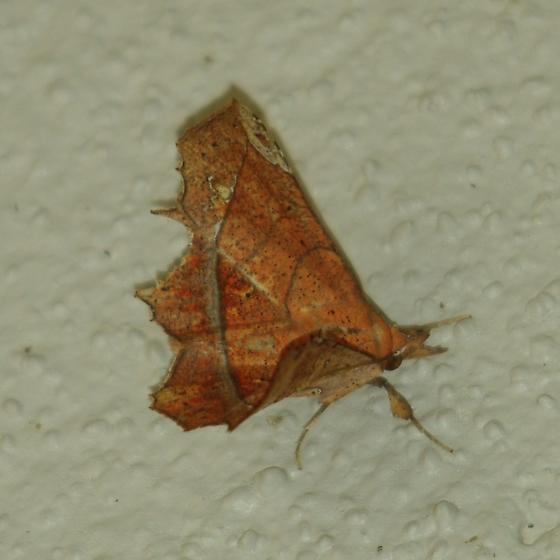 Moth - Syllectra erycata