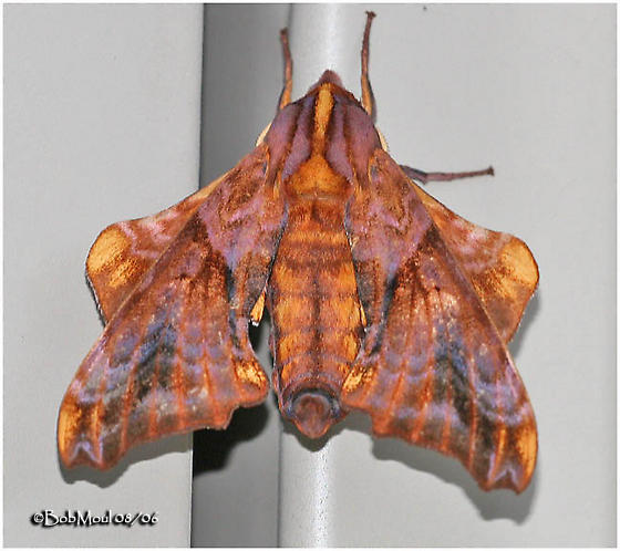 Small-eyed Sphinx - Paonias myops - male
