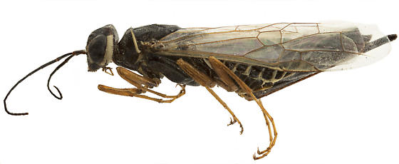 Syntexis libocedrii pinned female - Syntexis libocedrii - female