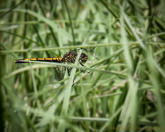 Seaside Dragonlet - Erythrodiplax berenice - female