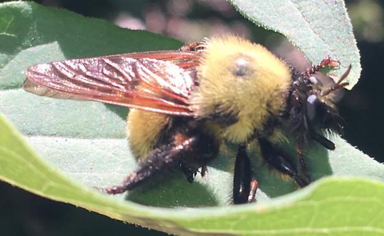 Laphria - Laphria thoracica
