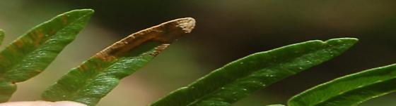 St. Andrews leaf miner on Pteridium latiusculum SA878 2017 2 - Phytoliriomyza clara