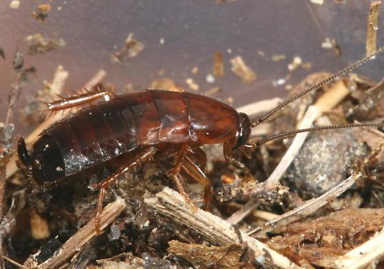 Wood roach? - Parcoblatta virginica
