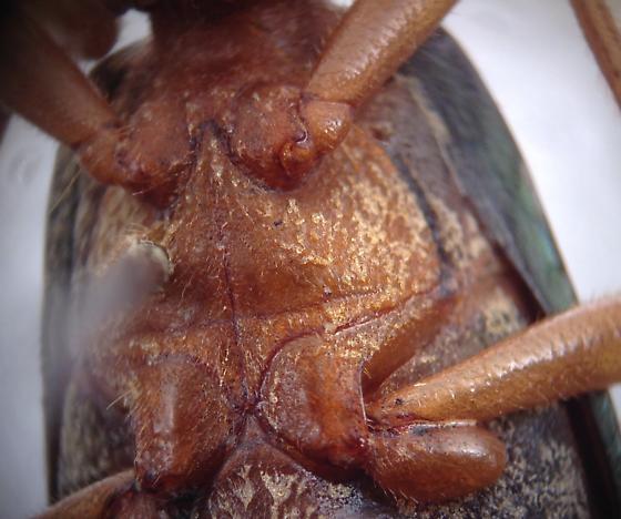 Brachinus alternans? - Brachinus alternans - female
