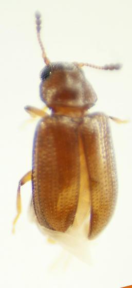 Unknown Beetle - Loberus