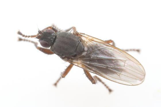 Coelopidae - Coelopa