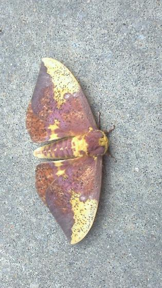 Imperial moth-the first one I have seen in person. - Eacles imperialis - male
