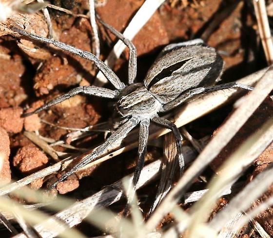 spider, pale gray, black elongated diamond - Thanatus