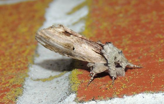 Schizura unicornis – Unicorn Caterpillar Moth?
