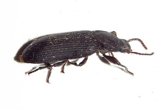 Beetle - Tenebrio obscurus