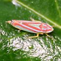 Leafhopper - Red & Blue Headed - Right Dorsal - Graphocephala versuta