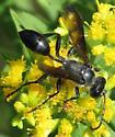 sphecid 3 - Isodontia