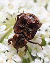 flower scarab - Valgus