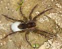 wolf spider with egg sac - Pirata piraticus - female
