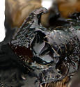 Cremnops comstocki - female
