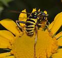 Spilomyia - Spilomyia liturata