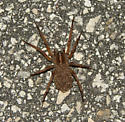 Wolf spider with young???? - female
