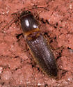 Beetle for ID - Megapenthes rufilabris