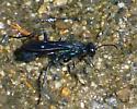 metallic wasp - Chalybion californicum