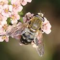 Lejops curvipes - female