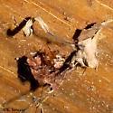 Cool spider - Araneus pegnia