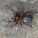 Spider found in wood pile, Guemes Island, WA; found when moving wood, mid afternoon - Callobius severus