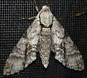 6/3/19 moth 2 - Manduca jasminearum