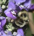 Bombus bimaculatus- gentian bee - Bombus vagans - female