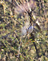 Banded Argiope (Argiope trifasciata) - Argiope trifasciata