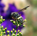 bee or hornet... - Cerceris
