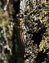 Potential Emerald Ash Borer - Agrilus planipennis
